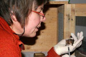 Eine Mitarbeiterin des NABU Schleswig-Holstein füttert ein Braunes Langoh (c Bernhard Tuchel)