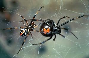 Schwarze Spinne mit mann