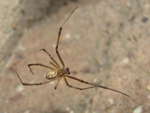 Schwarze Spinnenmann