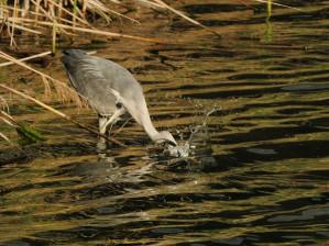 35 Pouta-fontana-Heron-cendré