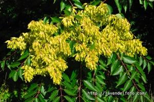 Ailanthus altissima var. altissima / Chinesischer Götterbaum / Tree of Heaven / Ailanthe glanduleux