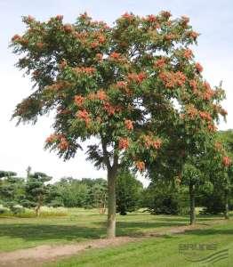 goetterbaum-ganz