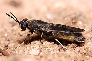 300px-hermetia_illucens_black_soldier_fly_edit1